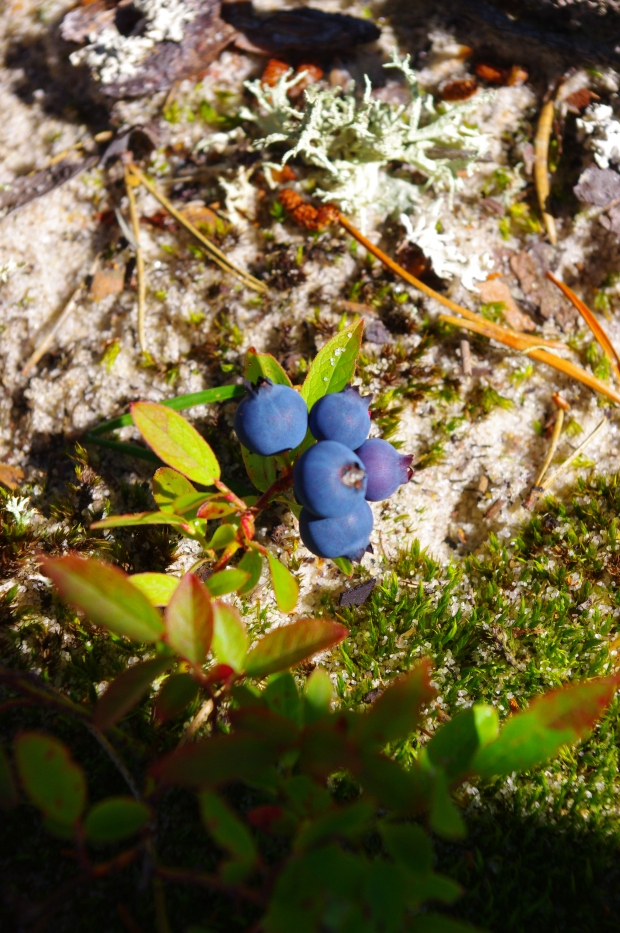 Blueberry cluster