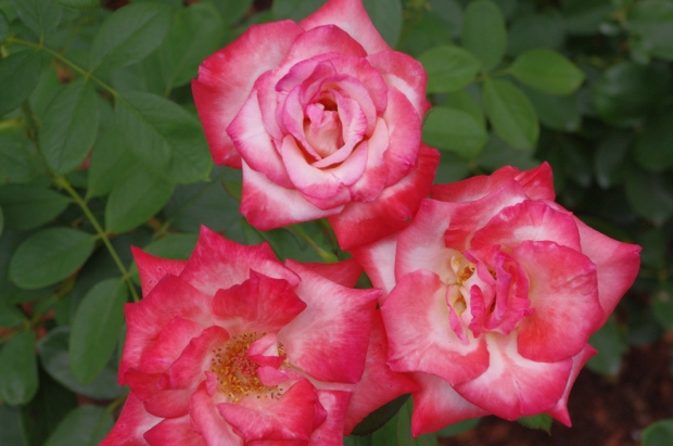 Trio of roses, Dallas Botanical Gardens August, 2014
