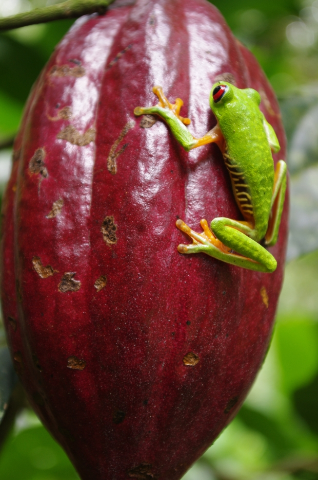 I found this little one crawling up a cacao pod in Costa Rica while at Finca Pasiflora.