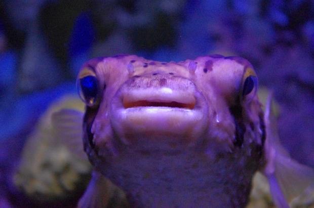 Puffy fish.JPG